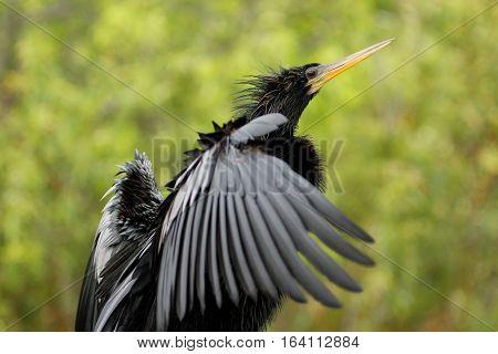 Anhinga (Anhinga anhinga) stretching wings, against green background