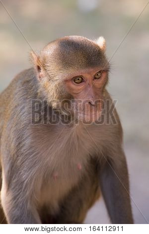 Rhesus Macaque Sitting At Tughlaqabad Fort, Delhi, India