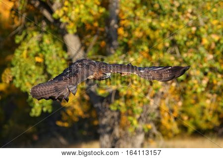 Red-tailed hawk (Buteo jamaicensis) in flight, near trees