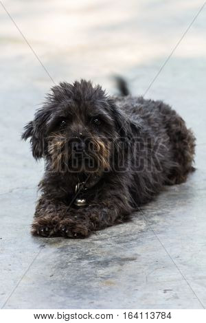 thai black stray dog on floor , pet