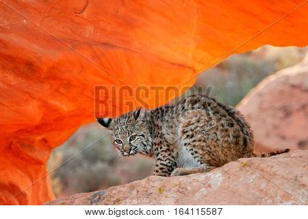 Bobcat Sitting On Red Rocks