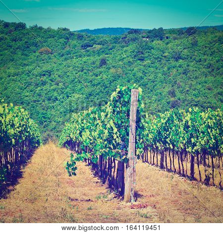 Hills of Tuscany with Vineyards in the Chianti Region of Italy Instagram Effect