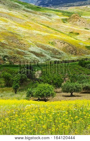 Landscape of Sicily with Olive Trees and Wildflowers