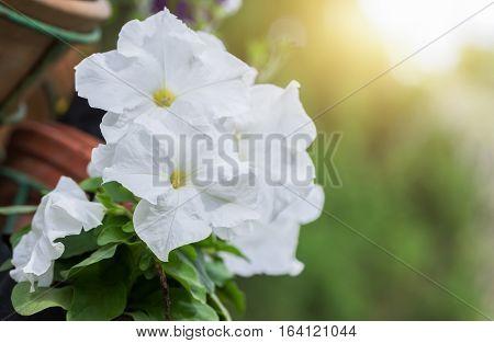 White Petunia Flower With Sunlight