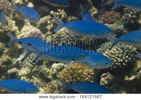 Blue Fish Shoal