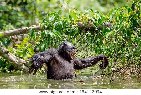 Bonobo in the water. Natural habitat. Green natural background. The Bonobo ( Pan paniscus) called the pygmy chimpanzee. Democratic Republic of Congo. Africa