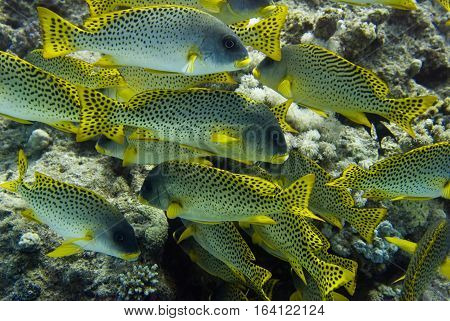 Blackspotted grunt shoal, color image, beauty in nature