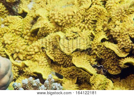 Yellow Salad Coral