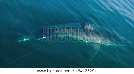 Great White Shark Underwater . Great White shark (Carcharodon carcharias) in the water of Pacific ocean near the coast of South Africa