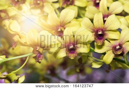 Yellow Dendrobium Orchid Flower