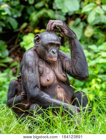 Adult female of Bonobo with cub on the Green natural background in natural habitat. The Bonobo Pan paniscus called the pygmy chimpanzee. Democratic Republic of Congo. Africa