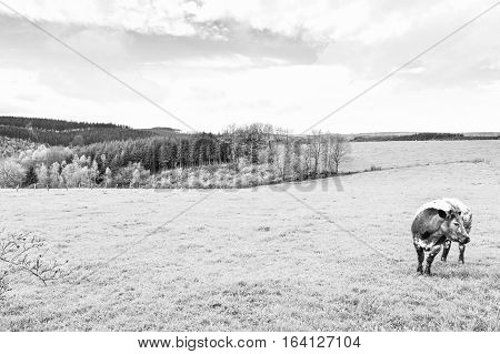 Pasture in the Ardennes. Black and white cow grazing in the green grass on a farm in Belgium. Black and White Picture