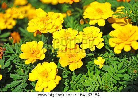 Tagetes flower in flowerbed with fresh balmy blossom