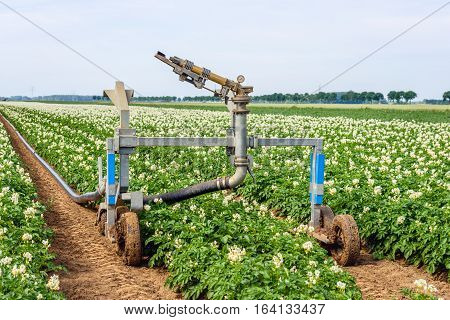 Rollaway automatic watering gun and a long water hose in a large field with flowering potato plants on a warm day in the Dutch summer season.
