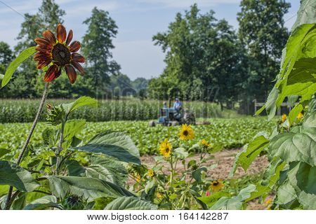 Cultivating in the tobacco plot next to the vegetable/flower garden.