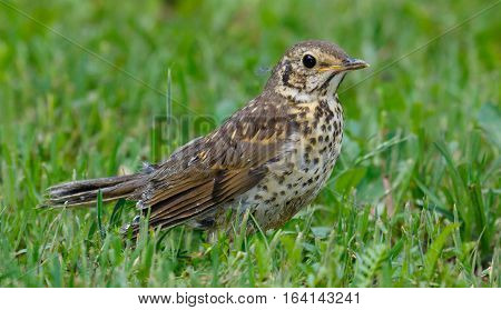 Juvenile Song Thrush (Turdus philomelos) closeup in grass, Poland, Europe
