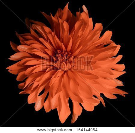 red flower on a black background isolated with clipping path. Closeup. Big shaggy flower. Dahlia.