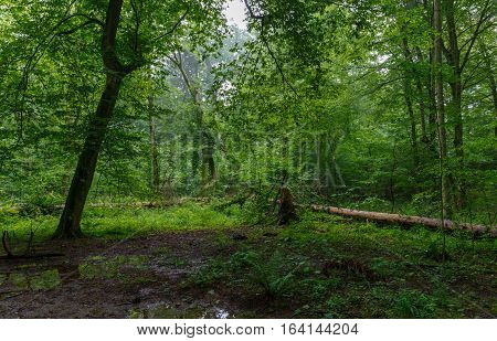 Natural deciduous stand with some old trees and ferns just heavy rain after, Bialowieza Forest, Poland, Europe