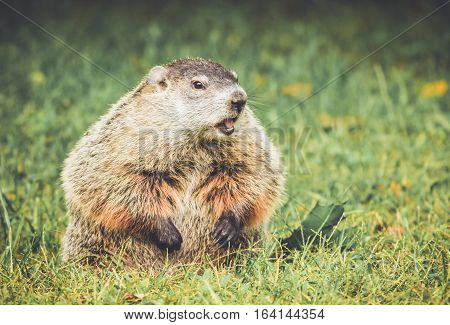 Groundhog in vintage garden setting sitting in grass with mouth open