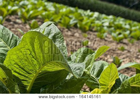 Young tobacco plant leaves in foreground with rows behind.