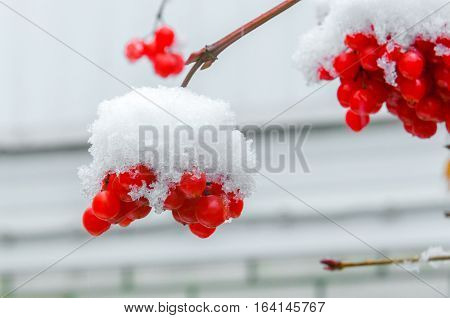 red berries under snow, snow, background, mountain ash hawthorn