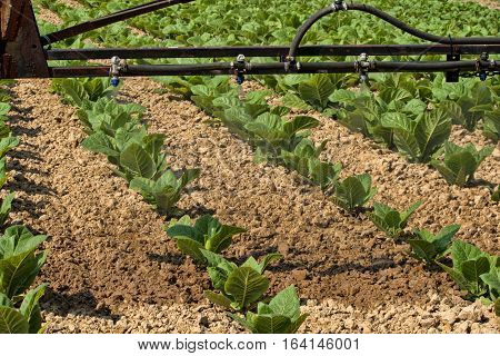 Sprayer arm passing over young tobacco plants.