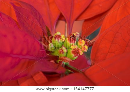 The poinsettia red flowers (Euphorbia pulcherrima) The Flower of the Christmas close up.