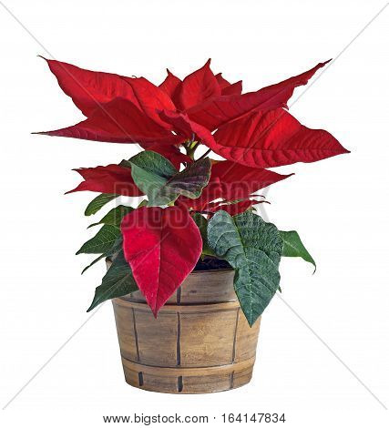 The poinsettia red flowers (Euphorbia pulcherrima) The Flower of the Christmas vintage vase white background.