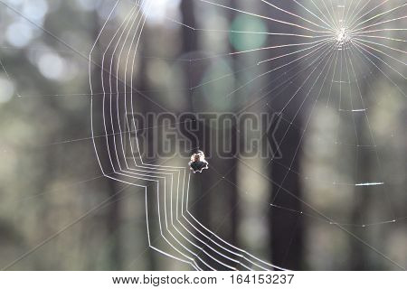 Knitted cobweb in the morning with pines background