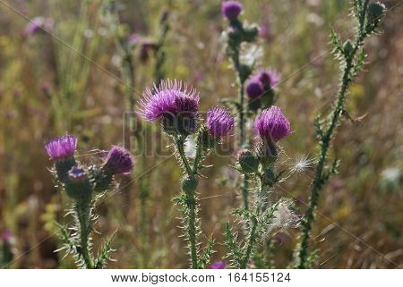 The picture von Thistle thorn flower green nature
