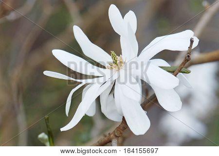 close up flower of Magnolia Stellata in spring garden