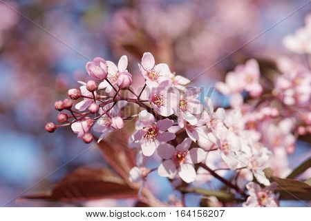 close up flowering branch of bird-cherry tree