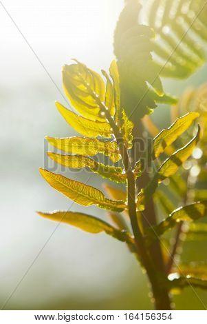 close up young leaf of fern Osmunda regalis