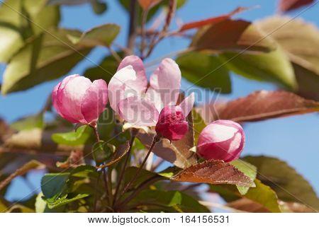 close up flowering branch of apple-tree in spring garden
