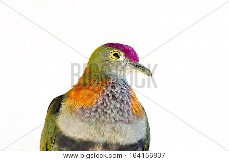 colorful rose crowned fruit dove or ptilinopus regina bird isolated against white