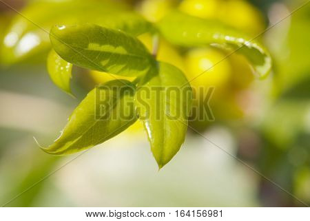 close up young leaves of mahonia in spring garden