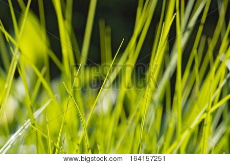 close up young leaves of grass in spring garden