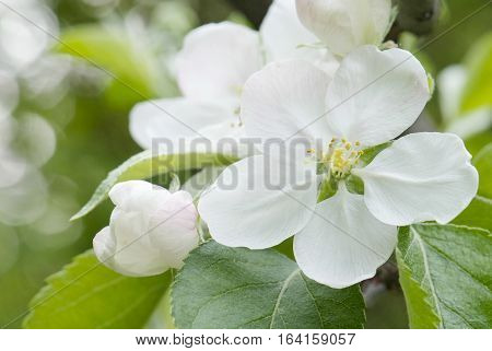 close up flowering branch of apple tree