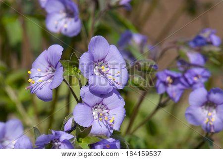 close up flowering of blue Polemonium caeruleum