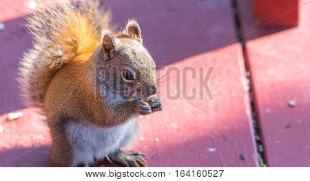 Endearing, springtime Red squirrel, close up,  sitting up on a deck, eating seeds and feeding.