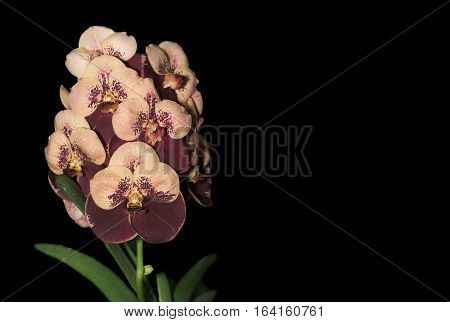 Brown Vanda Flower Orchid, Isolated On Black Background