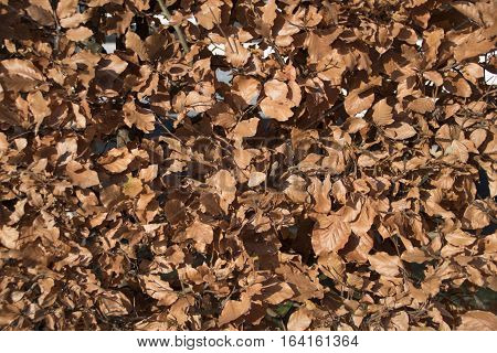 Background shot from beech hedge background use