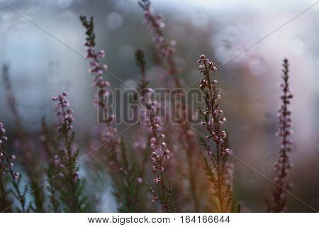 closeup heather flowers on window shelf, shallow depth of field