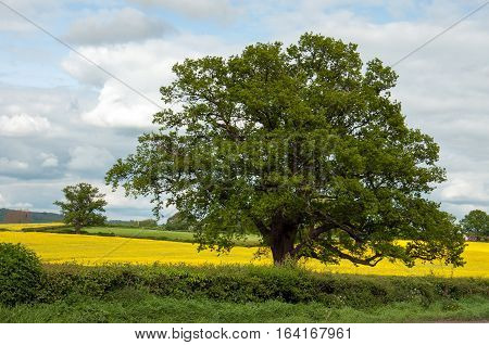 Canola crops and an old Oak tree in the British countryside.