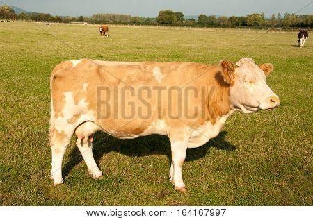Grumpy looking cow stood in a field.