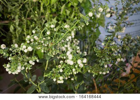 Unripe blueberries growing plant display in food festival stock photo