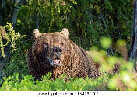 Wild Adult Brown Bear ( Ursus Arctos ) In The Summer Forest. Green Natural Background