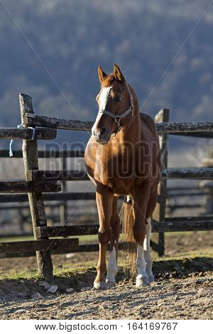 Thoroughbred horse looking over wooden corral fence wintertime
