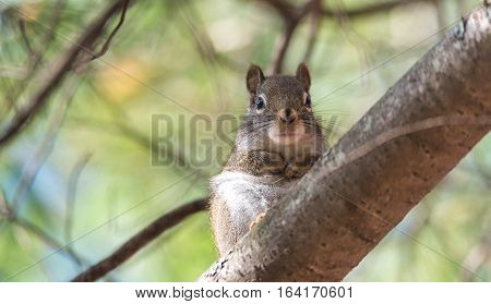 Endearing, springtime Red squirrel, close up and looking at camera,  Sitting up on a branch on a pine tree, paws tucked to chest.