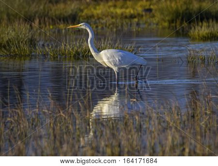 Great, common or large egret, ardea alba, walking in a pond searching for food